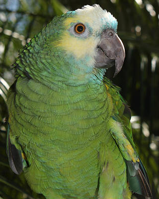 Photograph - Blue Fronted Amazon Parrot 1 by Erin Tucker