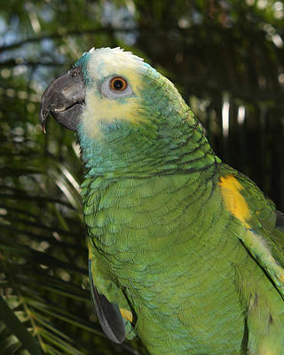 Photograph - Blue Fronted Amazon Parrot 2 by Erin Tucker