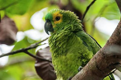 Blue-fronted Parrot Amazona Aestiva Art Print by Leonardo Mer�on