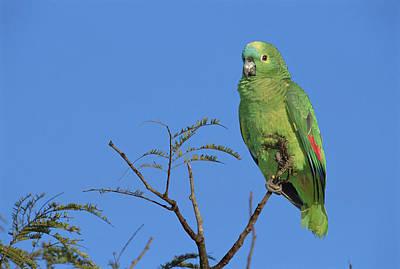 Blue-fronted Parrot Emas National Park Art Print by Tui De Roy