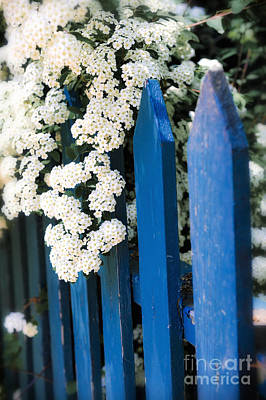 Blue Garden Fence With White Flowers Art Print