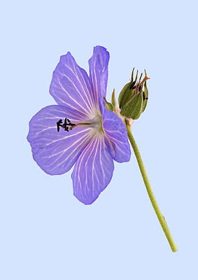 Photograph - Blue Geranium - Blue Background by Paul Gulliver