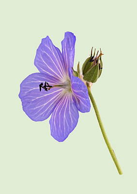 Photograph - Blue Geranium - Green Background by Paul Gulliver