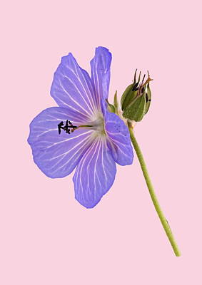 Photograph - Blue Geranium - Pink Background by Paul Gulliver