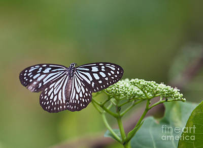 Photograph - Blue Glassy Tiger Butterfly Ideopsis Vulgaris by Liz Leyden