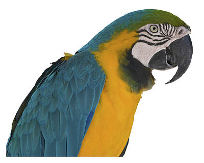 Blue Gold Macaw Art Print