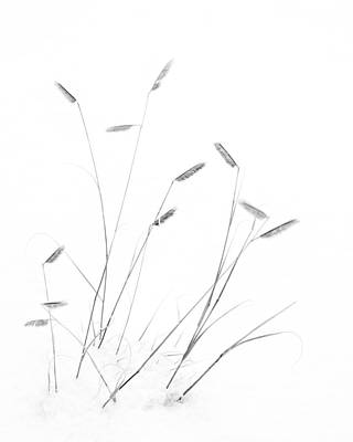 Photograph - Blue Grama Grass In Snow by Mary Lee Dereske