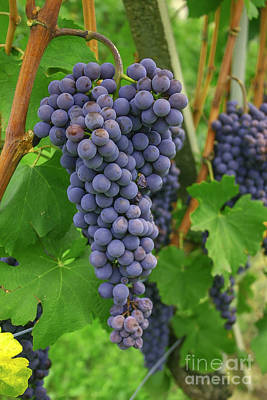 Blue Grapes Photograph - Blue Grapes For Wine by Patricia Hofmeester