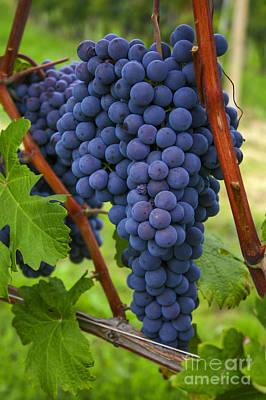 Blue Grapes Art Print by Patricia Hofmeester