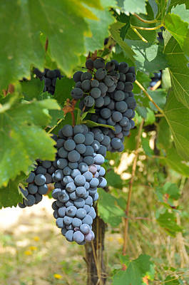 Photograph - Blue Grapes by Paul Van Baardwijk