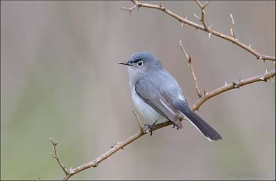 Warbler Photograph - Blue Gray Gnatcatcher by Daniel Behm