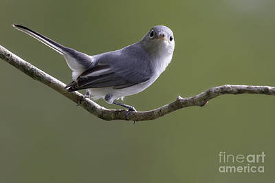 Photograph - Blue-gray Gnatcatcher by Meg Rousher