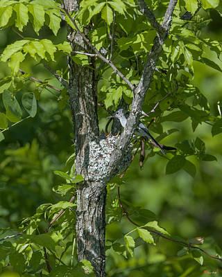 Photograph - Blue-gray Gnatcatcher Nest Dsb237 by Gerry Gantt