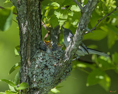Photograph - Blue-gray Gnatcatcher Nest Everybody Is Hungry Dsb245 by Gerry Gantt