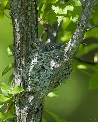 Photograph - Blue-gray Gnatcatcher Nest Sleepy Chicks Dsb246 by Gerry Gantt