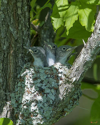 Photograph - Blue-gray Gnatcatcher Nestlings Dsb253 by Gerry Gantt
