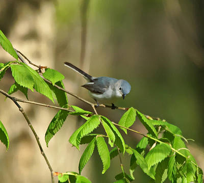 Photograph - Blue-gray Gnatcatcher by Sandy Keeton