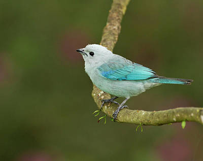 Blue-grey Tanager (thraupis Episcopus Art Print by William Sutton