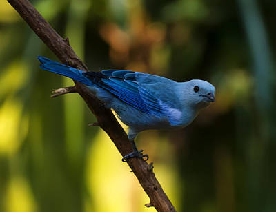 Digital Art - Blue Grey Tanager by Chris Flees