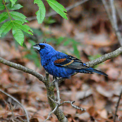 Photograph - Blue Grosbeak 5.29.2014 by Jai Johnson