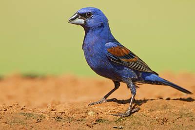 Ditto Photograph - Blue Grosbeak (guirana Caerulea by Larry Ditto