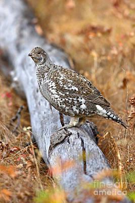 Photograph - Blue Grouse Hen by Bill Singleton
