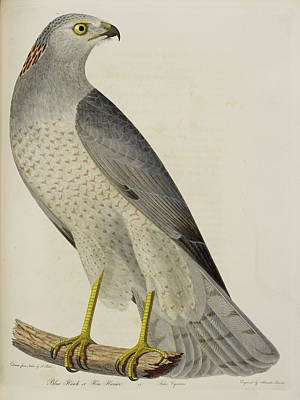 Harrier Photograph - Blue Hawk Or Hen Harrier by British Library
