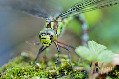 Dragonfly Eyes Photograph - Blue Hawker Dragonfly by Martin Capek