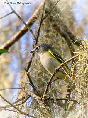 Birdwatching. B A Bowen Photograph - Blue-headed Vireo by Barbara Bowen