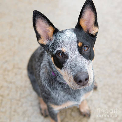 Photograph - Blue Heeler 1 by Rebecca Cozart