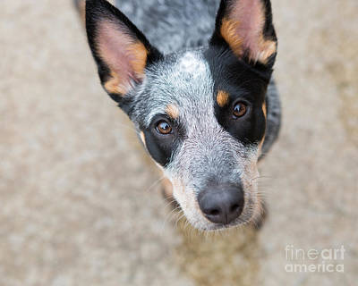 Photograph - Blue Heeler 3 by Rebecca Cozart