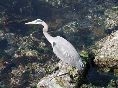 Photograph - Blue Heron At Ogden Point by George Cousins