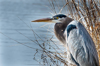Photograph - Blue Heron At Pond by John Johnson