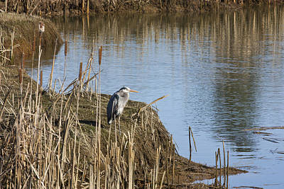 Photograph - Blue Heron by Barbara  White