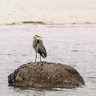 Photograph - Blue Heron Beachside  by Roxy Hurtubise