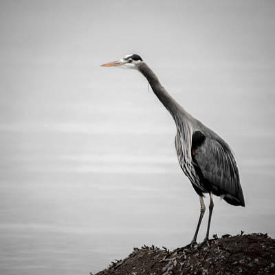 Photograph - Blue Heron Listening by Roxy Hurtubise