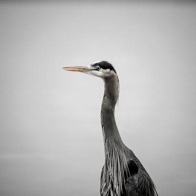 Photograph - Blue Heron Beauty by Roxy Hurtubise