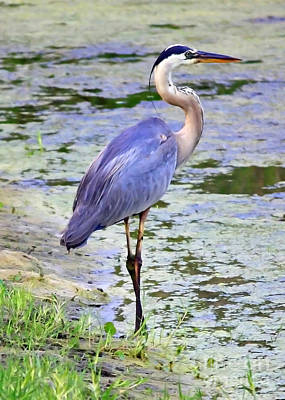 Heron Photograph - Blue Heron Beauty by Carol Groenen