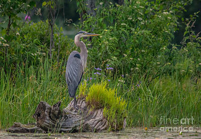 Photograph - Blue Heron by Cheryl Baxter
