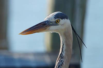 Photograph - Blue Heron Close Up 3 by Carmen Del Valle