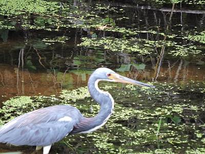 Blue Heron Close Up Art Print by Beth Williams