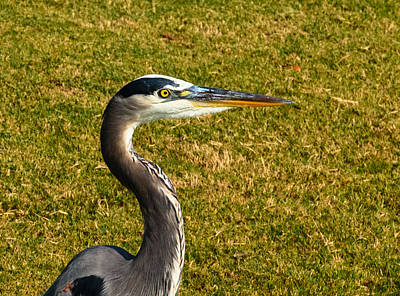 Photograph - Great Blue Heron by John Johnson