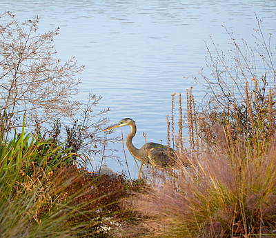 Photograph - Blue Heron by Corinne Rhode