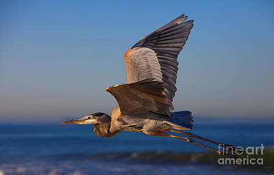 Blue Heron Print by David Millenheft