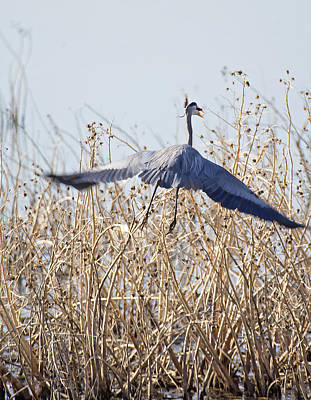 Photograph - Blue Heron by Deb Buchanan