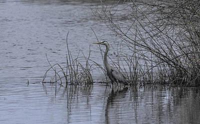 Photograph - Blue Heron - Distal Blue by Rae Ann  M Garrett