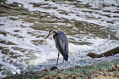 Heron Photograph - Blue Heron Fishing  by Douglas Barnard
