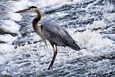 Heron Photograph - Blue Heron Fishing V3 by Douglas Barnard