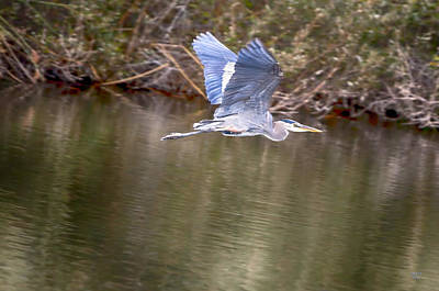 Heron Photograph - Blue Heron Flight by David Millenheft