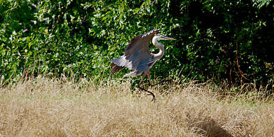 Blue Heron Flying 5 Art Print by Roy Williams